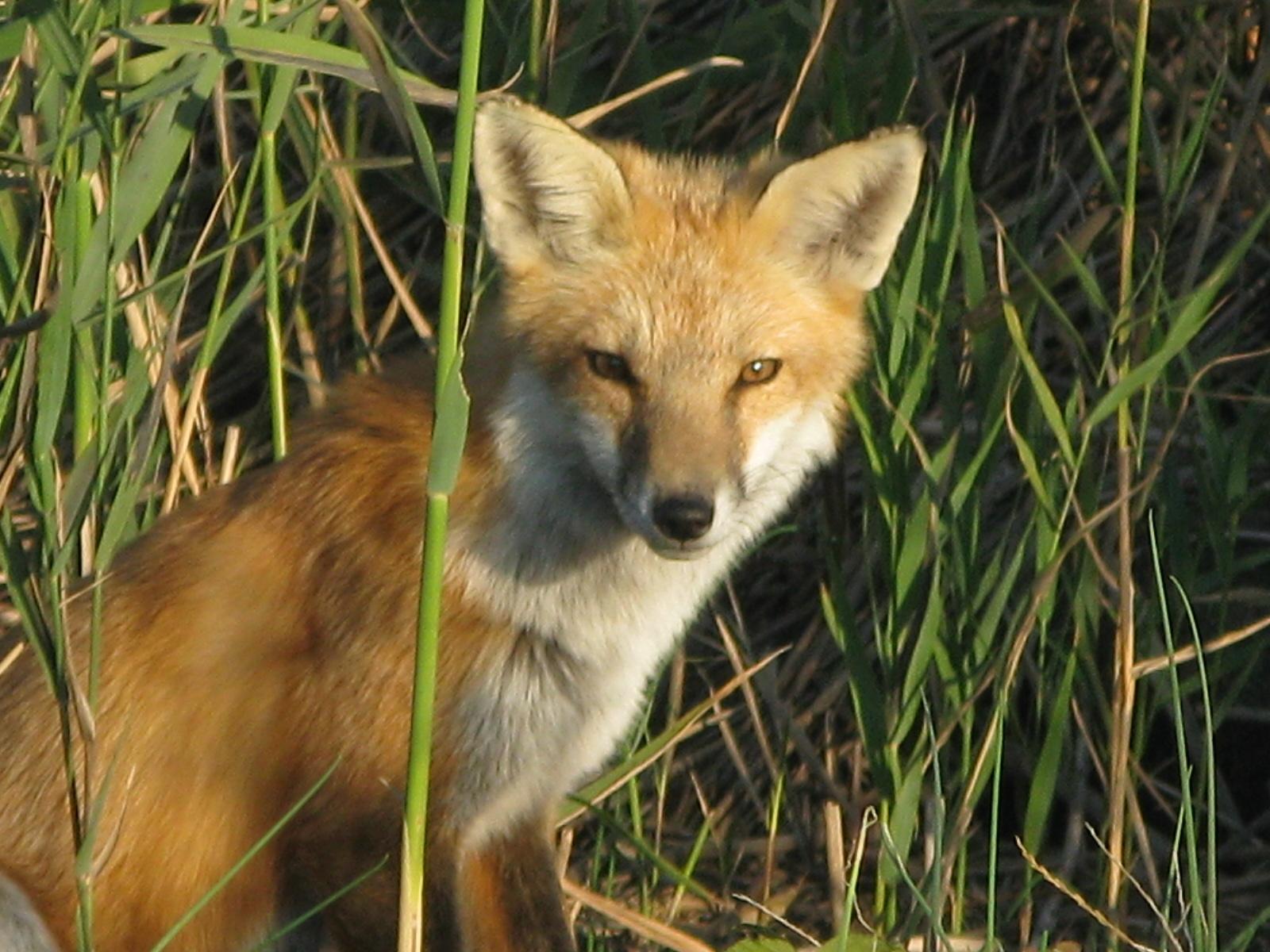 foxy thoughts backyard and beyond