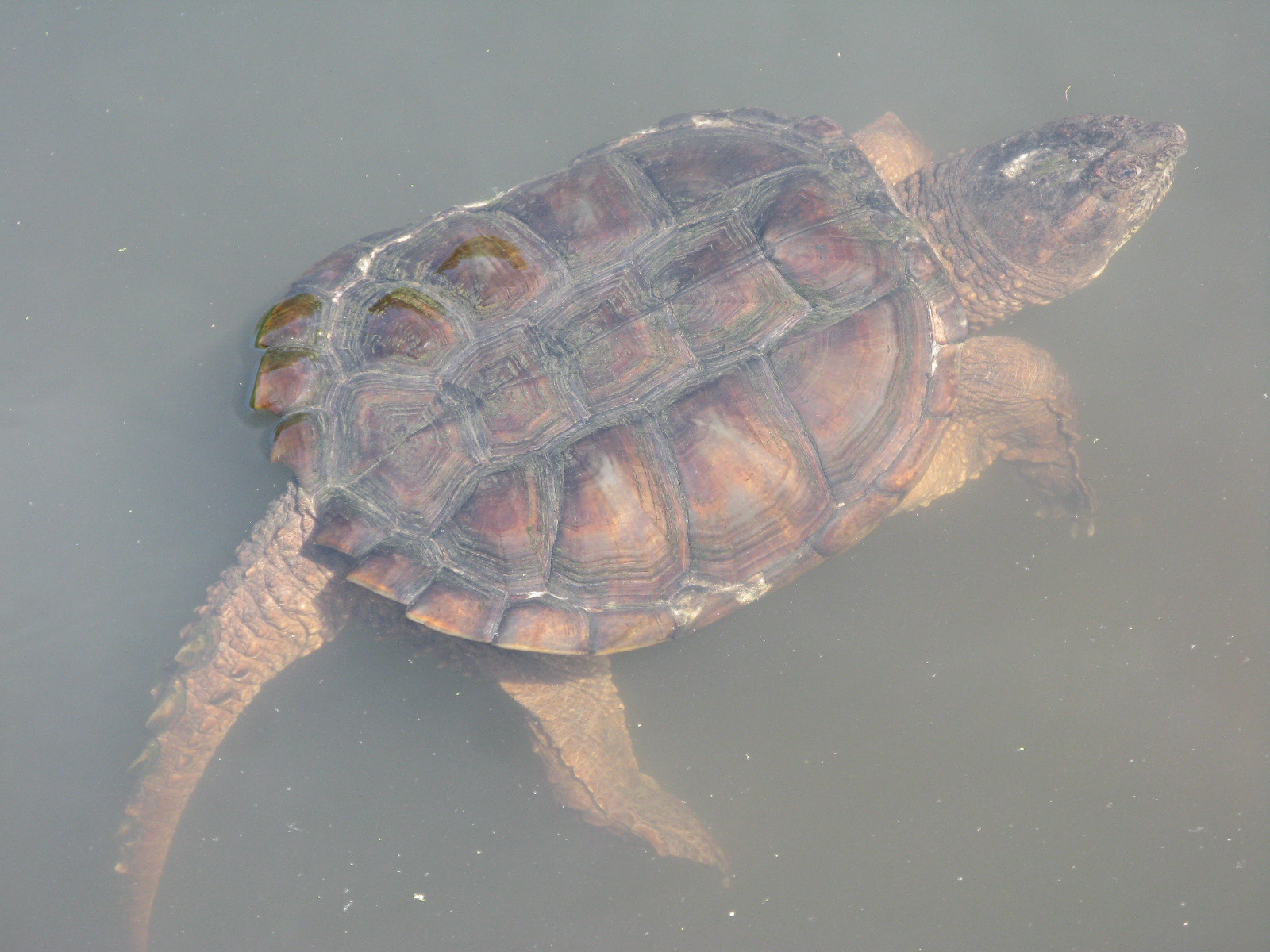 Baby Turtle In Water Not the kind of turtle to run