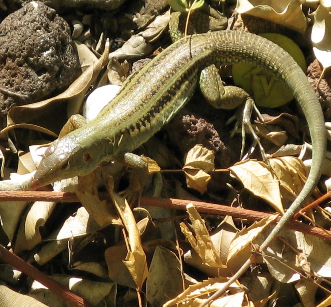 virgin gorda reptiles backyard and beyond
