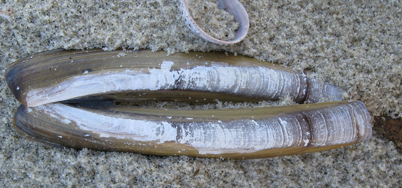 Image Result For Clam Shell Coloring