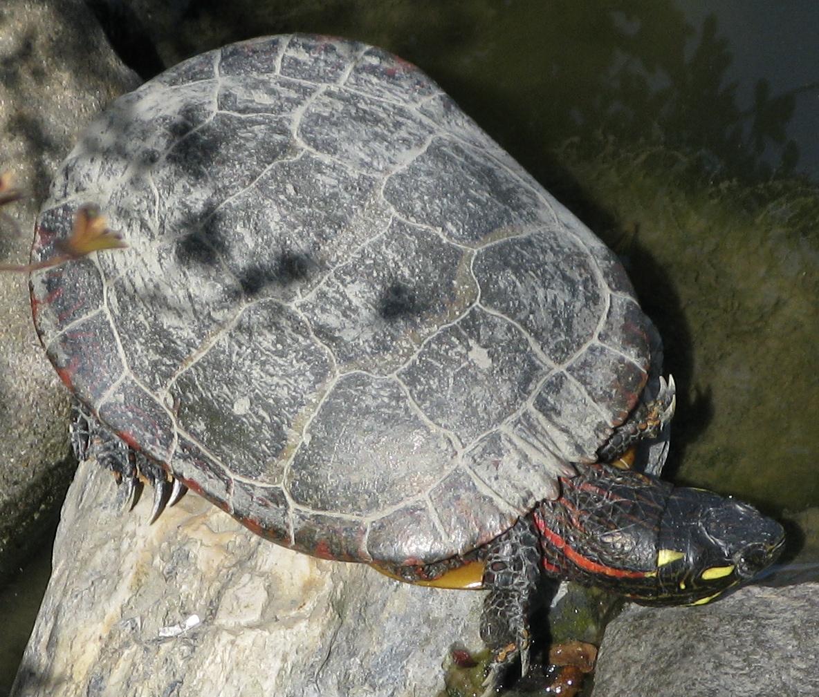 Can Painted Turtles Sleep Underwater