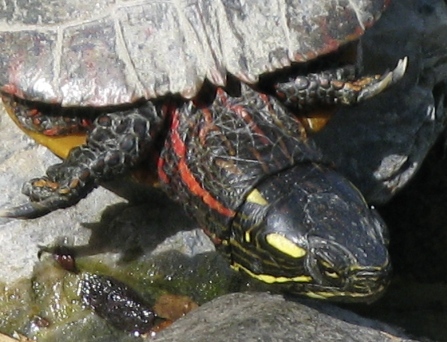 Can Painted Turtles Eat Wheat Grass