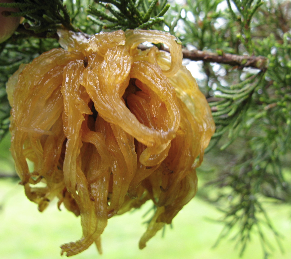cedar apple rust backyard and beyond
