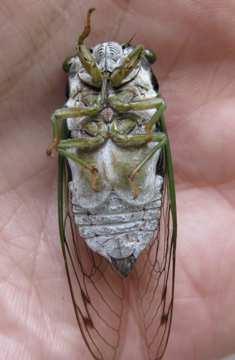 Cicadas Backyard And Beyond Page 2