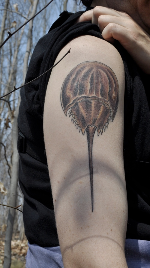 Horseshoe crab backyard and beyond page 2 for Blue blood tattoo