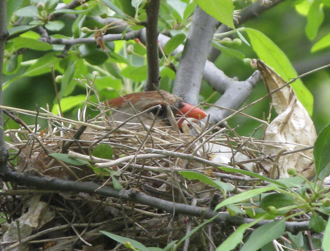 Baby Cardinal Bird Food
