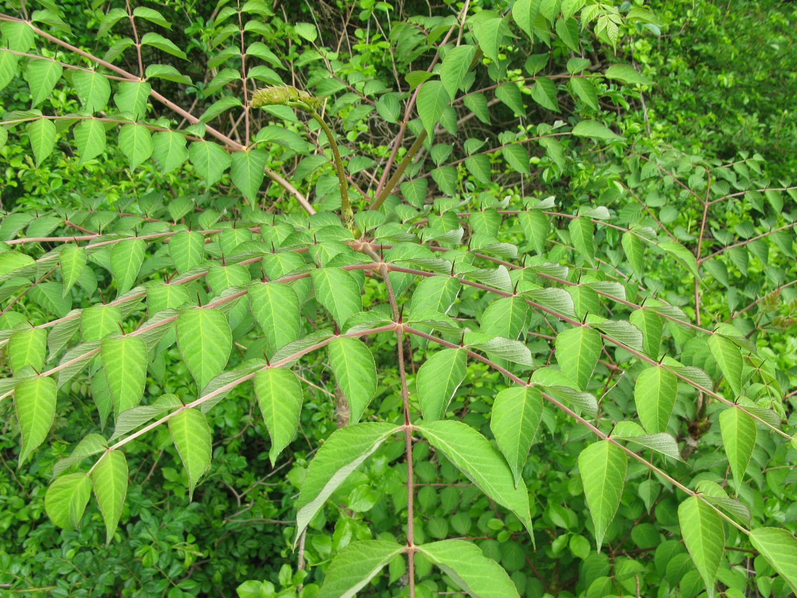 Richard Whelan  Medical Herbalist  Prickly Ash