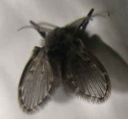 little black flies