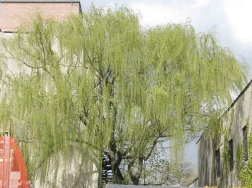 willow weep backyard and beyond