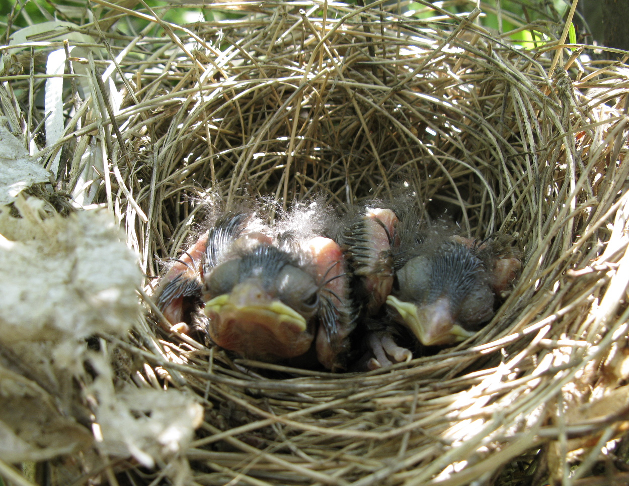 Cardinal Chicks | Backyard and Beyond Bird Nest With Bird