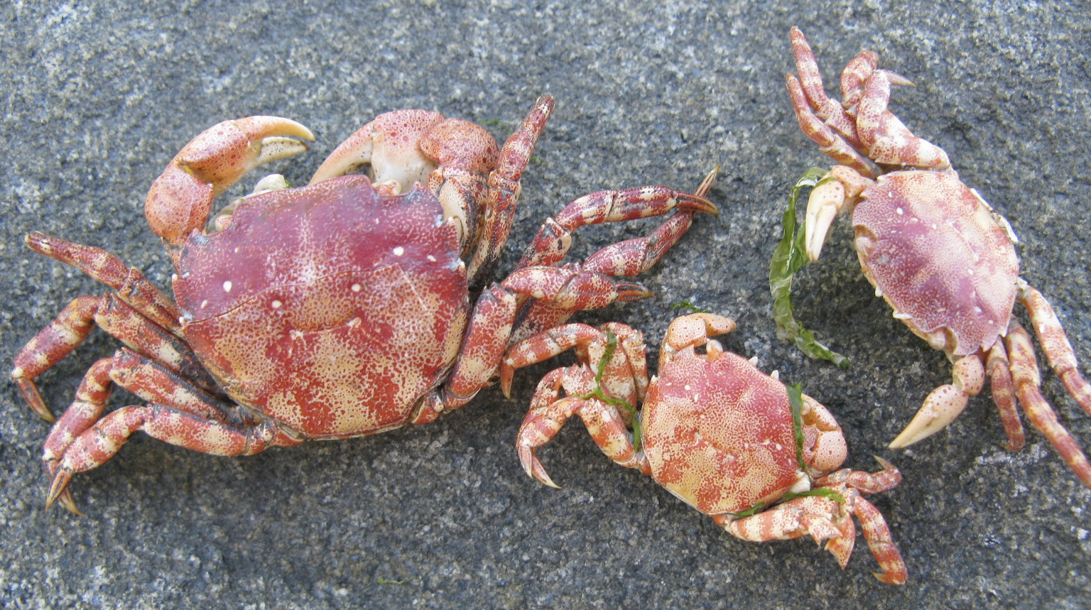 Crabs In Long Island Sound