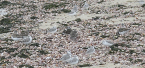 Sanderlings, Ruddy Turnstones