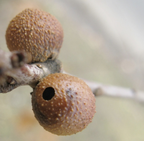 unknown gall