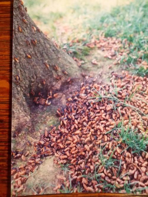 cicadas1998