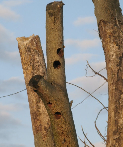 woodpecker nest