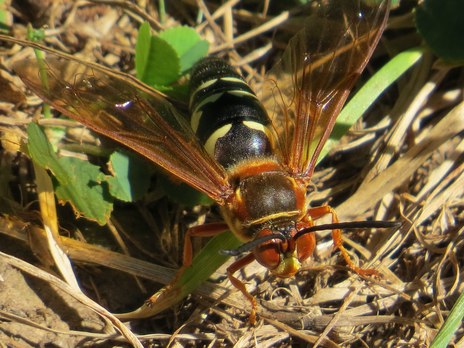 Cicadas Backyard And Beyond