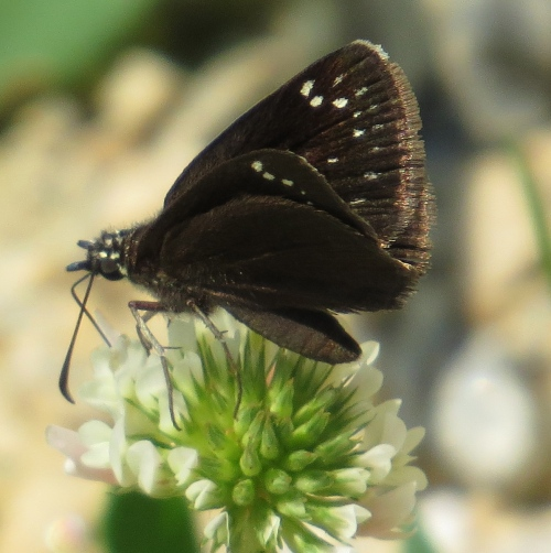 Pholisora catullus