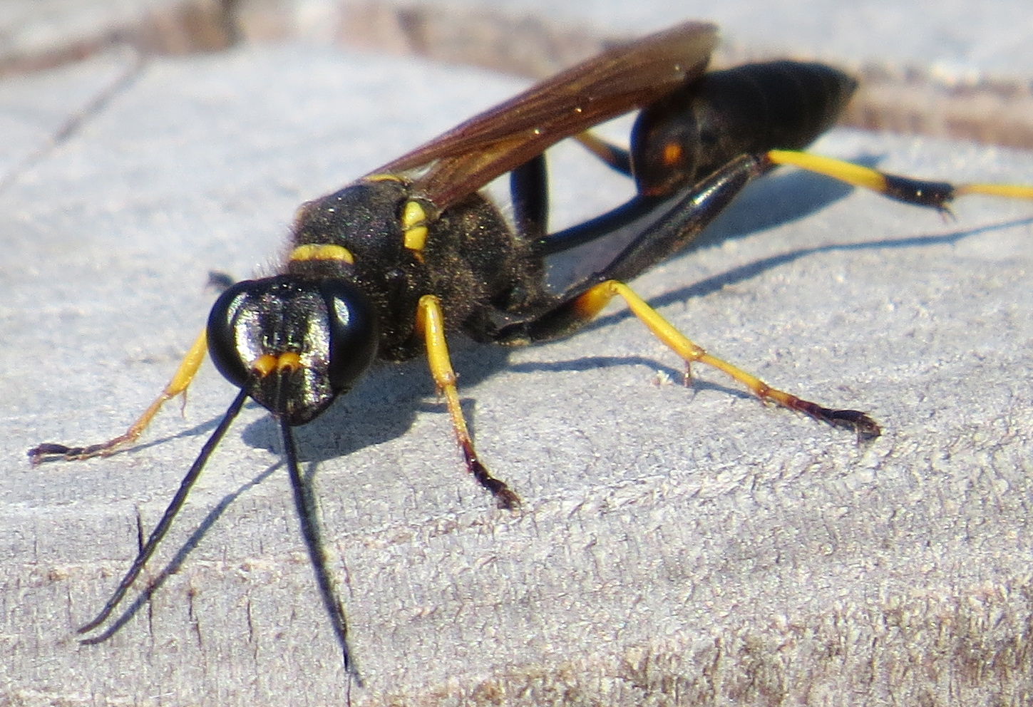 mother-superior-black-wasp-picture