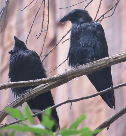 Corvus corax