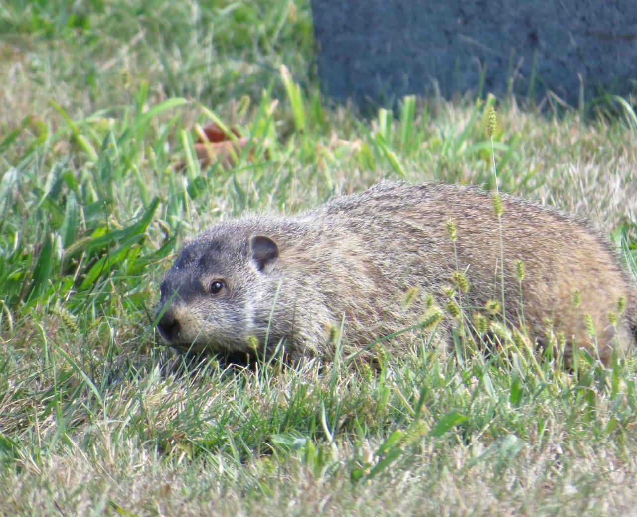 homeboy mammal backyard and beyond