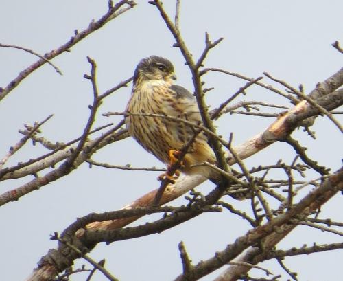 Falco columbarius