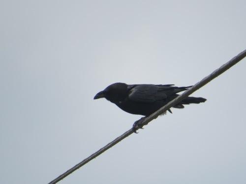 Corvus cryptoleucus
