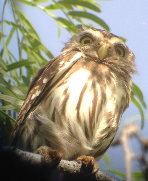 Glaucidium brasilianum