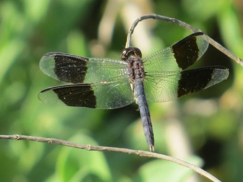 Erythrodiplax umbrata