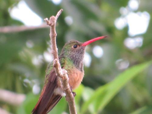 Amazilia yucatanensis