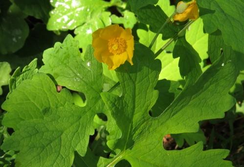 Stylophorum diphyllum
