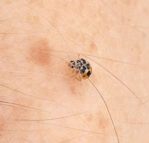 Small Black Bugs With Spots Pictures To Pin On Pinterest