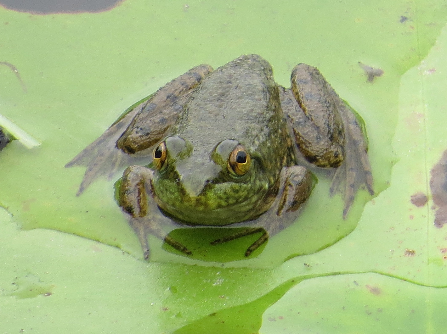 Backyard Frogs frogs | backyard and beyond | page 2