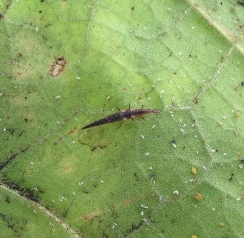 larva1