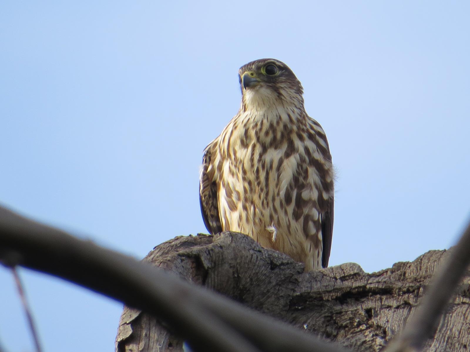 Pigeon Hawk Backyard And Beyond