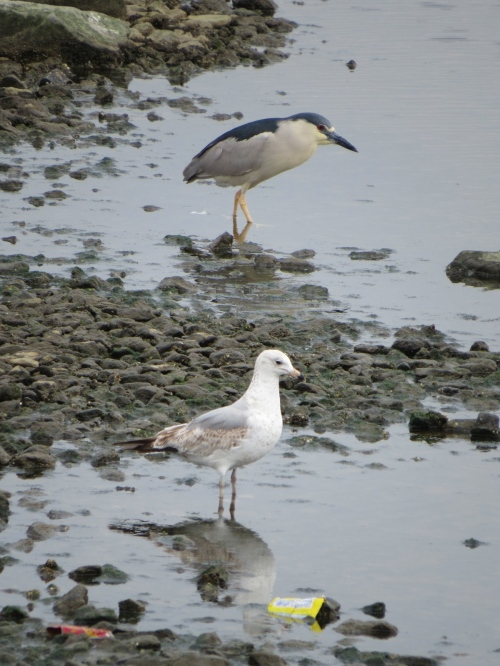 Nycticorax nycticorax, Larus delawarensis
