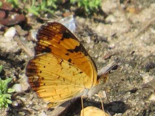 Phyciodes tharos