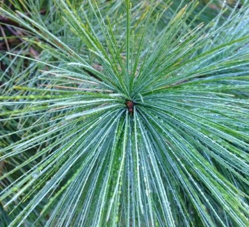 pine2