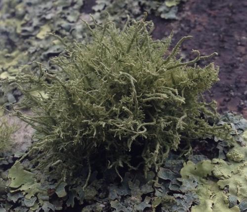 lichen8