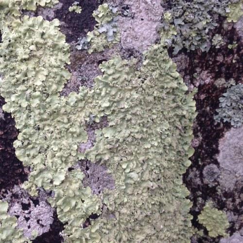 lichen9