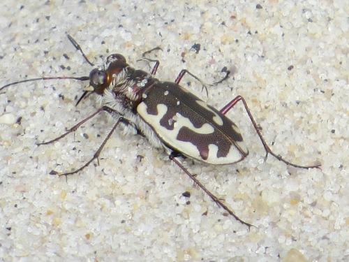 Northeastern Beach Tiger Beetle Virginia