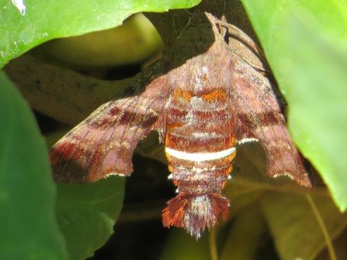 Amphion floridensis