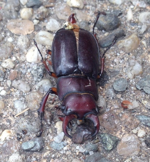 Lucanus capreolus