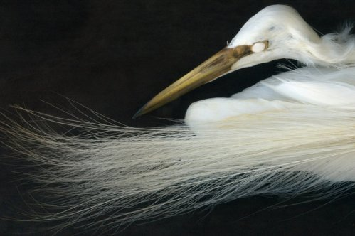The Great Egret (Ardea alba). Photo by Rosamond Purcell.