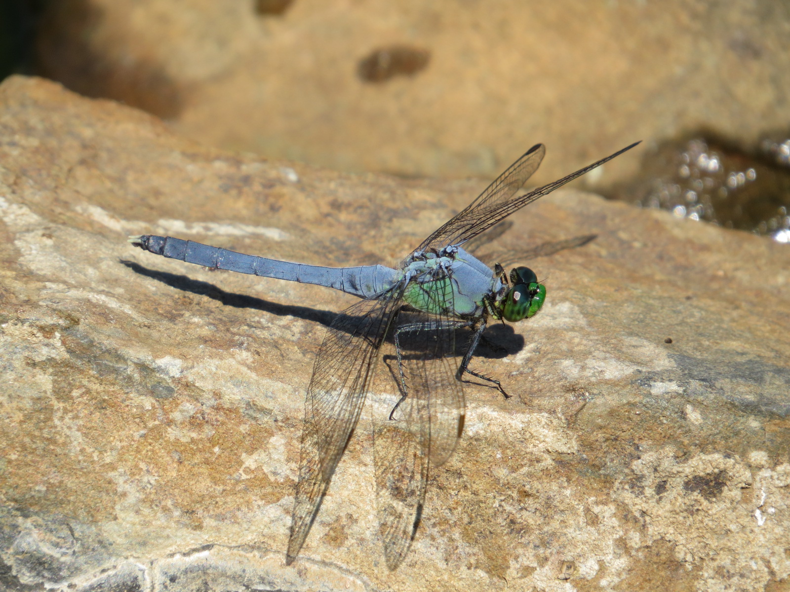 dragonflies backyard and beyond page 3