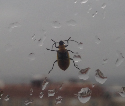 beetle1