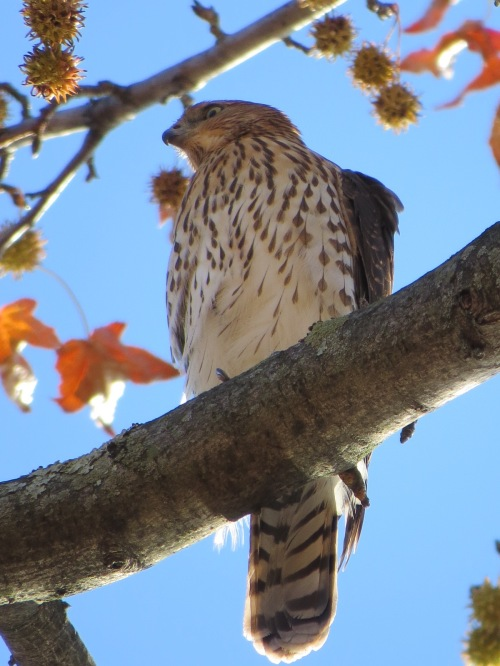 Accipiter cooperii