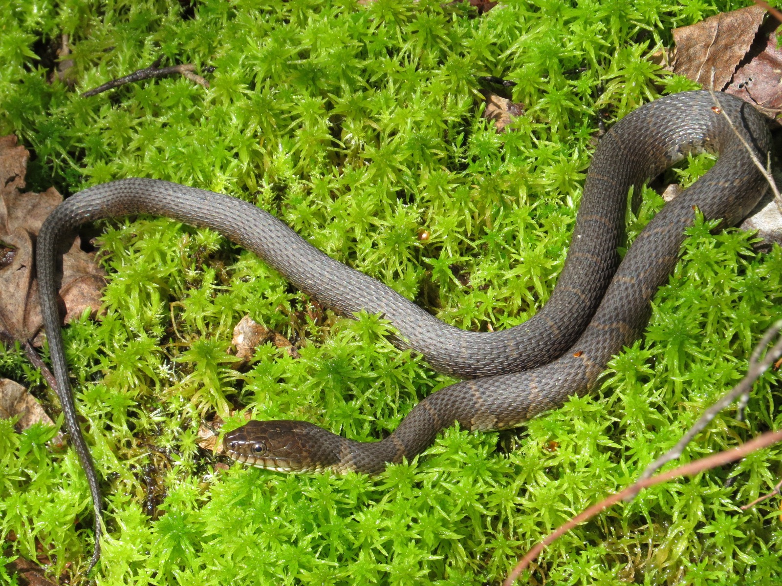 Nice Snake In The Moss