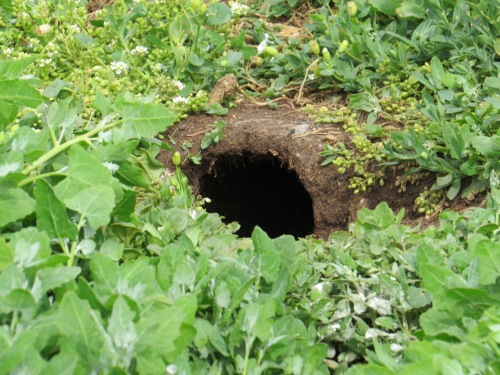 puffin burrow