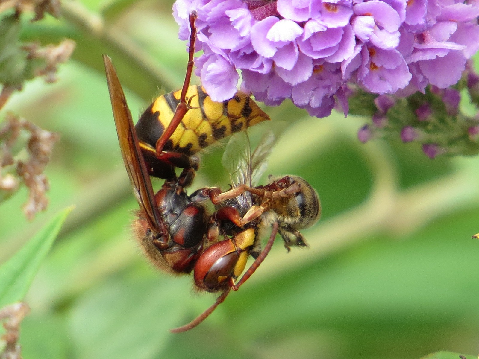 They Will Take Larger Prey, But This One Caught And Dispatched A Honey Bee  (Apis Mellifera; Another Eurasian Species). Worth Opening Up This Image For  A ...