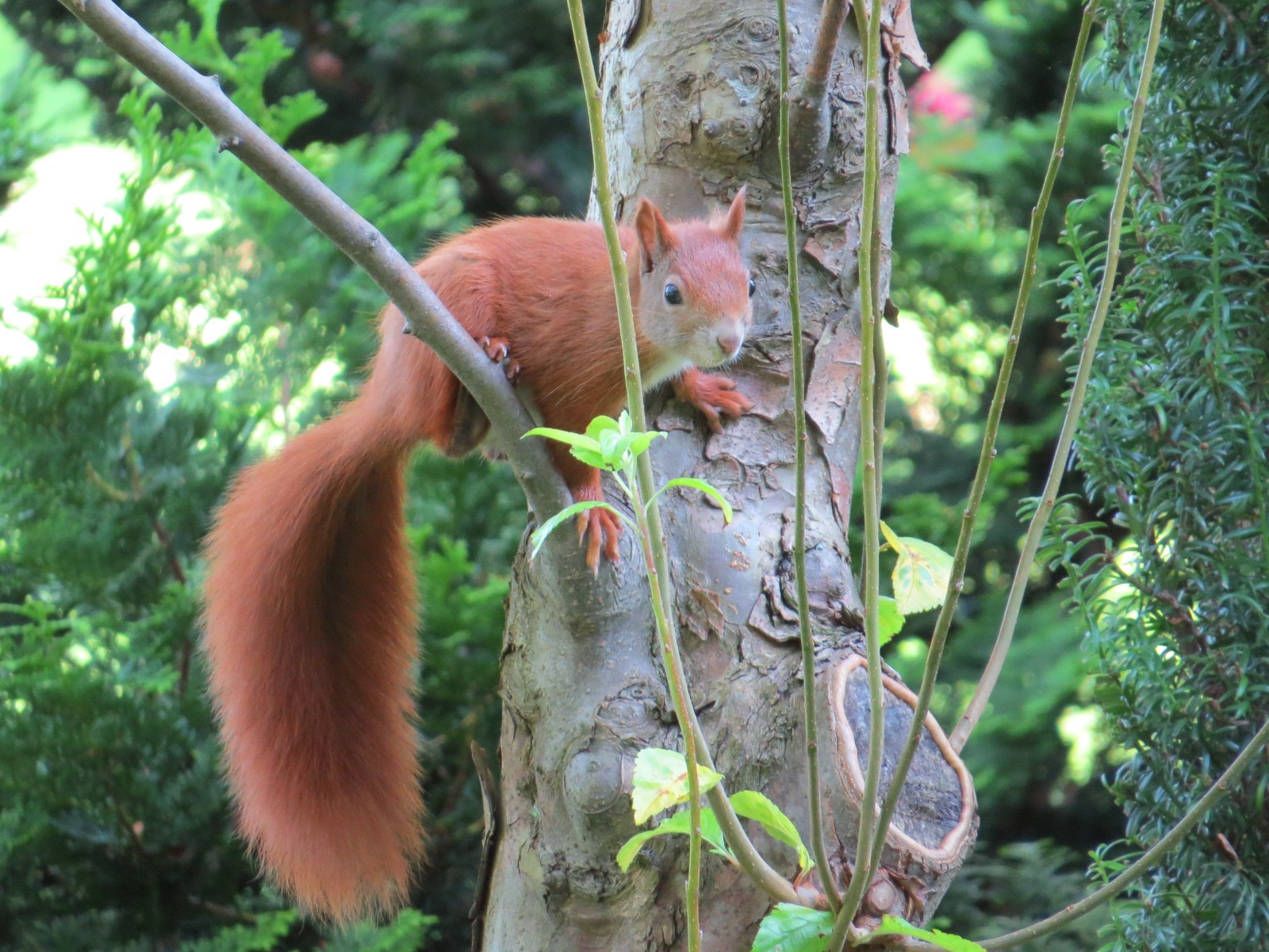 red squirrel alert backyard and beyond